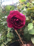 Munstead Rose