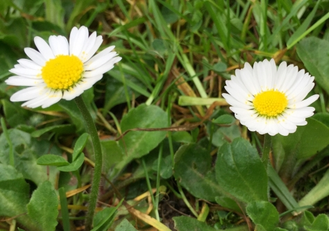 Daisy weed for post