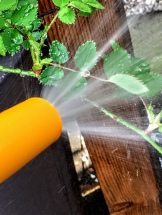 washing down aphids